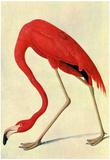 Audubon Flamingo Bird Art Poster Print Posters