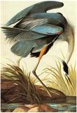 Audubon Great Blue Heron Bird Art Poster Print Plakater