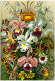 Orchidae Nature Art Print Poster by Ernst Haeckel Print