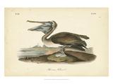 Audubon's Brown Pelican Poster by John James Audubon