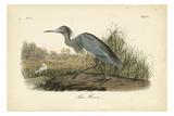 Audubon's Blue Heron Kunst af John James Audubon