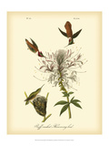 Ruff-neck Hummingbird Prints by John James Audubon