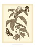 Nature Study in Sepia I Premium-giclée-vedos tekijänä Maria Sibylla Merian