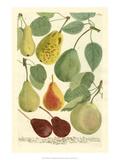 Plentiful Pears I Poster von Johann Wilhelm Weinmann