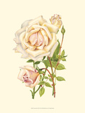 Victorian Rose III