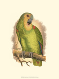 Blue-Fronted Amazon Affischer