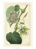 Antique Passionflower I Pôsteres por M. Hart