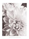 Black and White Dahlias II Poster par Christine Zalewski