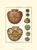 Sand Dollars IV Konst av  Diderot