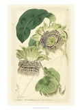 Antique Passionflower II Print by M. Hart