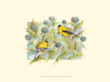 Goldfinches Prints by Janet Mandel