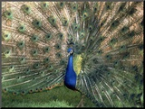 Male Peacock (Paro Cristatus) Mounted Photo by Peggy Koyle