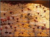 Lotus Pond Mounted Print by Bruno Baumann