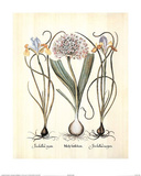 Iris (Plant Study) Posters