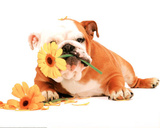 Good Morning Bulldog Photo Print Poster Kunstdruck