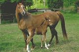 Horses (Mare and Foal) Art Poster Print Poster