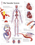 The Vascular System Educational Chart Poster Prints