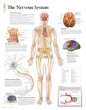 Laminated The Nervous System Educational Chart Poster Print