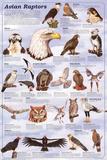 Avian Raptors Birds Of Prey Educational Science Chart Poster Posters