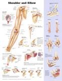 Shoulder and Elbow Anatomical Chart Poster Print Plakater