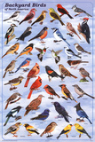 Laminated Backyard Birds Educational Science Chart Poster Pôsters