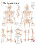 Laminated The Skeletal System Chart Poster Pôsters