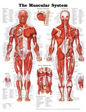 The Muscular System Anatomical Chart Póster