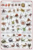 Laminated Arachnida Spiders Educational Science Chart Poster Kunstdrucke