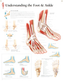 Laminated Understanding the Foot and Ankle Educational Chart Poster アートポスター