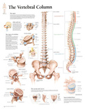 Laminated Vertebral Column Educational Chart Poster Posters