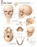 Laminated The Human Skull Educational Chart Poster Poster