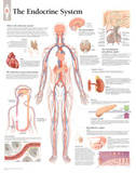 Laminated The Endocrine System Educational Chart Poster Affiche
