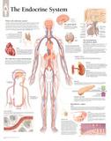 Laminated The Endocrine System Educational Chart Poster Kunstdruck