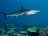 A Whitetip Reef Shark Cruises Over Great Detached Reef Fotografie-Druck von David Doubilet