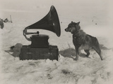 One of Scott's Sled Dogs Listens to a Gramaphone While on Expedition to the South Pole Fotografisk tryk af Herbert Ponting