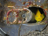 A Yellow Goby Peers Through the Window of Its Corroded Soda-Can Home Photographic Print by Brian J. Skerry