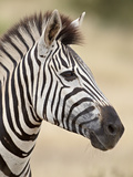 Chapman's Zebra (Plains Zebra) (Equus Burchelli Antiquorum), Kruger National Park, South Africa, Af Fotografisk tryk af James Hager