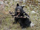 Black Bear (Ursus Americanus) Cub Eating Canadian Gooseberry Berries, Jasper National Park, Alberta Lámina fotográfica por James Hager