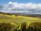 View over Autumn Vines at Denbies Vineyard, Near Dorking, Surrey, England, United Kingdom, Europe Photographic Print by John Miller