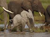 Baby African Elephant (Loxodonta Africana), Serengeti National Park, Tanzania, East Africa, Africa Fotografisk tryk af James Hager