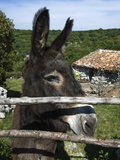 Donkey in Rural Setting, Cres Island, Kvarner Gulf, Croatia, Europe Photographic Print by Stuart Black