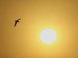 Silhouette of Flying Ring-Billed Gull at Sunrise, Merritt Island National Wildlife Refuge Photographic Print by Arthur Morris