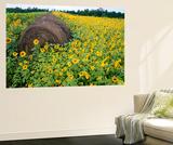 Hay Bale in Sunflowers Field, Bluegrass Region, Kentucky, Usa Wall Mural by Adam Jones