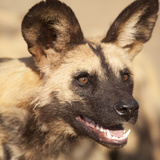 Portrait of an African Wild Dog, Harnas Wildlife Foundation and Guest Farm, Harnas, Namibia Photographic Print by Wendy Kaveney