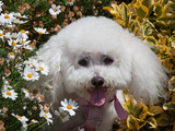 Portrait of a Bishon Frise Sitting in the Daisies Reproduction photographique par Zandria Muench Beraldo