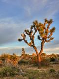 Joshua Tree at Sunrise, Joshua Tree National Park, California, Usa Impressão fotográfica por Jamie & Judy Wild