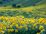 Arrowleaf Balsamroot in Bloom, Foothills of Bear River Range Above Cache Valley, Utah, Usa Photographic Print by Scott T. Smith
