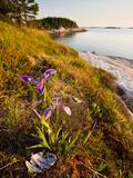 A Blue Flag Iris on the Coast of Maine's Great Wass Island Near Jonesport, Maine, Usa Photographic Print by Jerry & Marcy Monkman