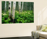 Cow Parsnip Growing in Aspen Grove, White River National Forest, Colorado, Usa Wall Mural by Adam Jones