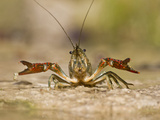 Crayfish (Cambarus Sp.) Defense Posture, Kendall Co., Texas, Usa Fotografisk tryk af Larry Ditto